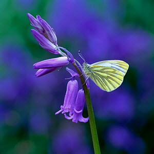 Green-veined white butterfly (Pieris napi) resting on Bluebell flower, Clare Glen, County Armagh, Northern Ireland, UK, May - Robert Thompson