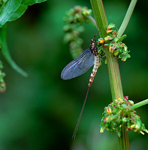 Grey drake mayfly (Ephemera danica) female resting, Lough Melvin, County Fermanagh, Northern Ireland, UK, May - Robert Thompson