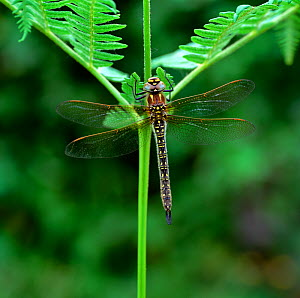 Hairy dragonfly (Brachytron pratense) resting on fern, Brackagh Moss NNR, County Down, Northern Ireland, UK, June  -  Robert Thompson