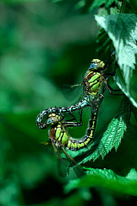 Hairy dragonfly (Brachytron pratense) adults mating, Brackagh Moss NNR, County Down, Northern Ireland, UK, June  -  Robert Thompson