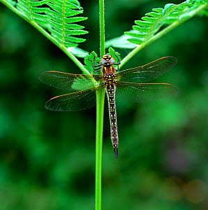 Hairy dragonfly (Brachytron pratense) adult, Brackagh Moss NNR, County Down, Northern Ireland, UK, June  -  Robert Thompson