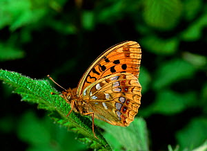 High brown fritillary butterfly (Argynnis adippe) resting on leaf, Lake District, Cumbria, UK, July  -  Robert Thompson