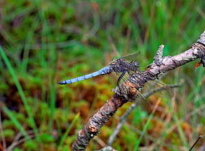 Keeled skimmer (Orthetrum coerulescens)  Mourne Mountains, County Down, Northern Ireland, July  -  Robert Thompson