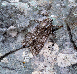Knot grass moth (Acronicta rumicis) adult on stone, camouflage, Rehaghy Mountain, County Tyrone, Northern Ireland, UK, June  -  Robert Thompson