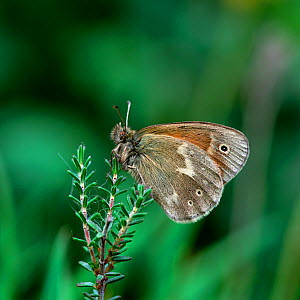 Large heath butterfly (Coenonympha tullia) Mullnakill NNR, County Armagh, Northern Ireland, July - Robert Thompson
