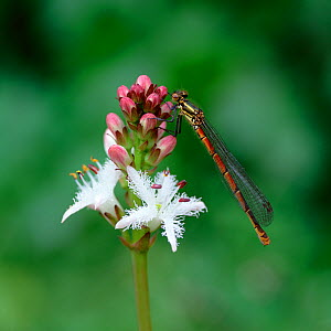 Large red damselfly (Pyrrhosoma nymphula) on flower, Selshion Moss, County Armagh, Northern Ireland, UK, May - Robert Thompson