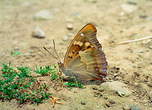 Lesser purple emperor butterfly (Apatura ilia) camouflaged on ground with wings closed, near Couiza, France, July  -  Robert Thompson