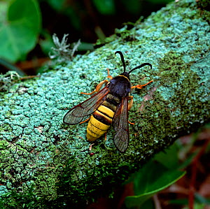 Lunar hornet moth (Sesia bembeciformis) resting on branch, Brackagh Moss NNR, County Down, Northern Ireland, UK, May - Robert Thompson