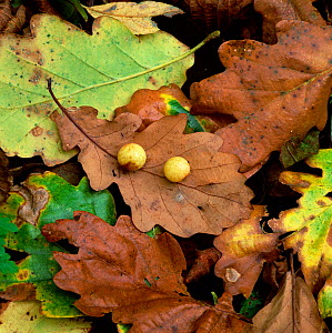 Oak galls made by the Oak gall wasp (Cynops divisa) on fallen oak leaves, Clare Glen, County Armagh, Northern Ireland, UK - Robert Thompson