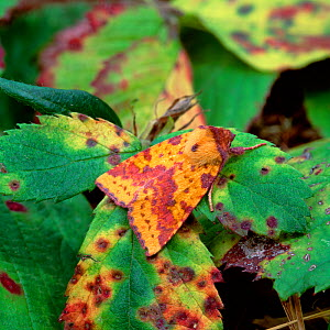 Pink-barred sallow moth (Xanthia togata) camouflaged amongst fading / diseased leaves, Annaloughan Bog, County Tyrone, Northern Ireland, UK, August - Robert Thompson