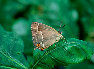 Purple hairstreak butterfly (Neozephyrus quercus resting on leaf with wings closed, Crom Estate, County Fermanagh, Northern Ireland, UK, August  -  Robert Thompson