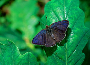 Purple hairstreak butterfly (Neozephyrus quercus resting on leaf with wings open, Crom Estate, County Fermanagh, Northern Ireland, UK, August  -  Robert Thompson