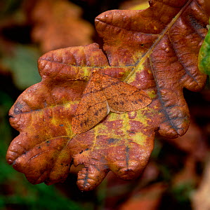 Scarce umber moth (Agriopis aurantiaria) camouflaged on discoloured oak leaf, Rehaghy Mountain, County Tyrone, Northern Ireland, UK, November  -  Robert Thompson