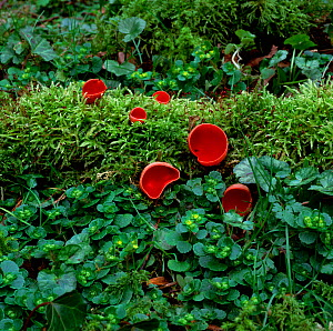 Scarlet elf cup fungus (Sarcoscypha coccinea) growing amongst moss, Clare Glen, County Armagh, Northern Ireland, UK, February - Robert Thompson