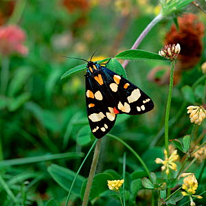 Scarlet tiger moth (Callimorpha dominula) resting on plants, UK  -  Robert Thompson