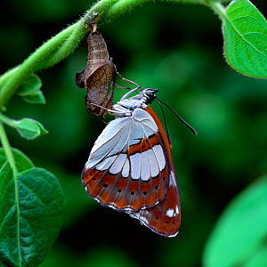 Southern white admiral butterfly (Limenitis / Ladoga reducta) recently emerged from pupa  -  Robert Thompson