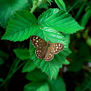 Speckled wood butterfly (Pararge aegeria) resting on leaf with wings open, Montiaghs Moss NNR,  County Antrim, Northern Ireland, UK, April  -  Robert Thompson