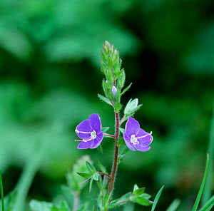 Speedwell flowers (Veronica chamaedrys)  Montiaghs Moss NNR, County Antrim, Northern Ireland, UK, April  -  Robert Thompson