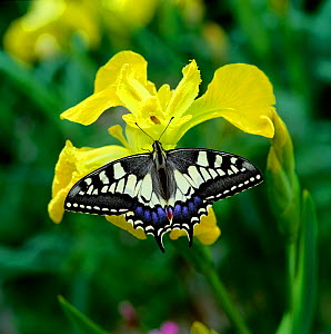 Swallowtail butterfly (Papilio machaon brittannicus) resting on flag iris, Norfolk Broads, UK June - Robert Thompson