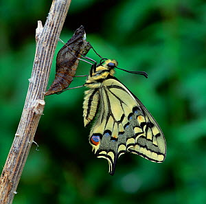 Swallowtail butterfly (Papilio machaon brittannicus) emerging from pupa, Norfolk Broads, UK June  -  Robert Thompson