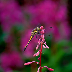 Black darter dragonfly (Sympetrum danae) male, Peatlands Country Park, County Armagh, Northern Ireland, UK, August  -  Robert Thompson