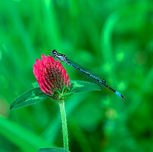 Teneral male Variable damselfly (Coenagrion pulchella) on clover flower, Selshion Moss, County Armagh, Northern Ireland, UK, May  -  Robert Thompson