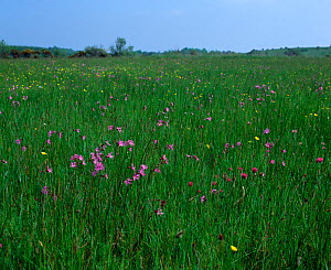 Ragged robin (Silene flos-cuculi) flowering in wetlands meadow, Near Garrison, County Fermanagh, Northern Ireland, UK, June  -  Robert Thompson