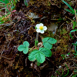 Wild strawberry plant and flower (Fragaria vesca) Monawilkin ASSI, County Fermanagh, Northern Ireland, UK, May - Robert Thompson