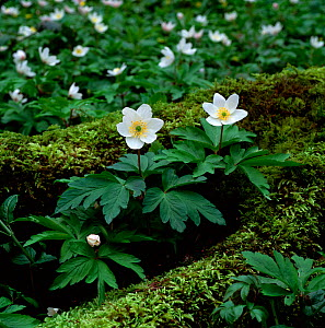 Wood anemone (Anemone nemorosa) flowering in woodland, Clare Glen, County Armagh, Northern Ireland, UK, March - Robert Thompson