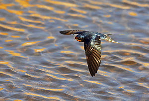 Swallow (Hirundo rustica) flying low over water, Israel, March - Markus Varesvuo