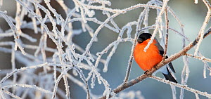 Male Bullfinch (Pyrrhula pyrrhula) perched on frost covered branches, Kuusamo, Finland, January  -  Markus Varesvuo