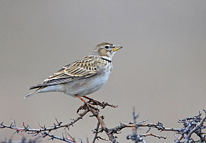 Calandra Lark (Melanocorypha calandra) perched on branches, Bulgaria, February  -  Markus Varesvuo