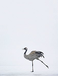 Common Crane (Grus grus) displaying in snow, Kuusamo Finland, April (Some background added.) - Markus Varesvuo