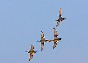 Small flock consisting of three male and one female Gadwall (Anas strepera) in flight, Hungary, May  -  Markus Varesvuo