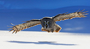 Great Grey Owl (Strix nebulosa) flying low over snow covered ground, Tornio, Finland, March. Magic Moments book plate. - Markus Varesvuo