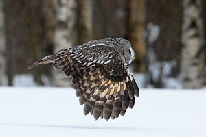 Great Grey Owl (Strix nebulosa) in flight low over snow covered ground, Raahe, Finland, March  -  Markus Varesvuo