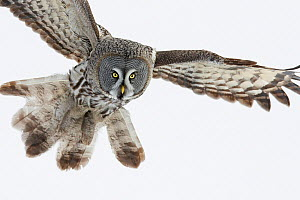 Great Grey Owl (Strix nebulosa) hunting, Tornio, Finland, March  -  Markus Varesvuo