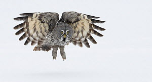 Great Grey Owl (Strix nebulosa) taking off into flight from ground, Tornio, Finland, March. Magic Moments book plate.  -  Markus Varesvuo