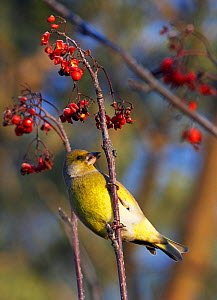 Greenfinch (Carduelis chloris) feeding on Spindle tree (Euonymus europaeus) berries, Helsinki Finland, January  -  Markus Varesvuo