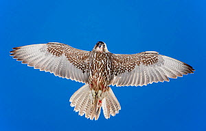 Gyrfalcon (Falco rusticolus) in flight, from directly below, Norway, July. Magic Moments book plate.  -  Markus Varesvuo