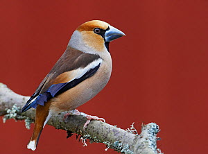 Male Hawfinch (Coccothraustes coccothraustes) perched on branch, Mustio, Finland, April  -  Markus Varesvuo
