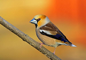 Female Hawfinch (Coccothraustes coccothraustes)perched on branch, Mustio, Finland, April  -  Markus Varesvuo