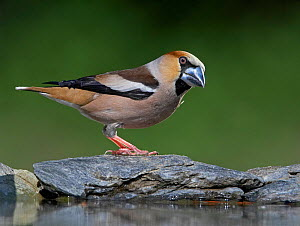 Female Hawfinch (Coccothraustes coccothraustes) perched by water, Hungary, May  -  Markus Varesvuo