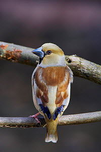 Portrait of Hawfinch (Coccothraustes coccothraustes) perched on branches, Mustio Finland, April  -  Markus Varesvuo