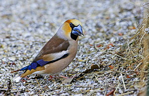 Male Hawfinch (Coccothraustes coccothraustes) foraging for food on ground, Mustio, Finland, April  -  Markus Varesvuo
