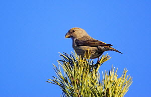 Female Parrot Crossbill (Loxia pytyopsittacus) perched in pine branches, Porvoo, Finland, March  -  Markus Varesvuo