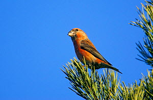 Male Parrot Crossbill (Loxia pytyopsittacus) Porvoo, Finland, March - Markus Varesvuo
