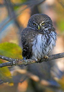 Pygmy Owl (Glaucidium passerinum) perched on branch, Hanko, Finland, November  -  Markus Varesvuo
