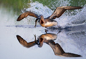 Red-throated Diver (Gavia stellata) taking off with fish, Vaala, Finland, June. Magic Moments book plate.  -  Markus Varesvuo
