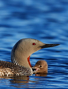 Adult Red-throated Diver (Gavia stellata) on water with chick, Vaala, Finland, June  -  Markus Varesvuo